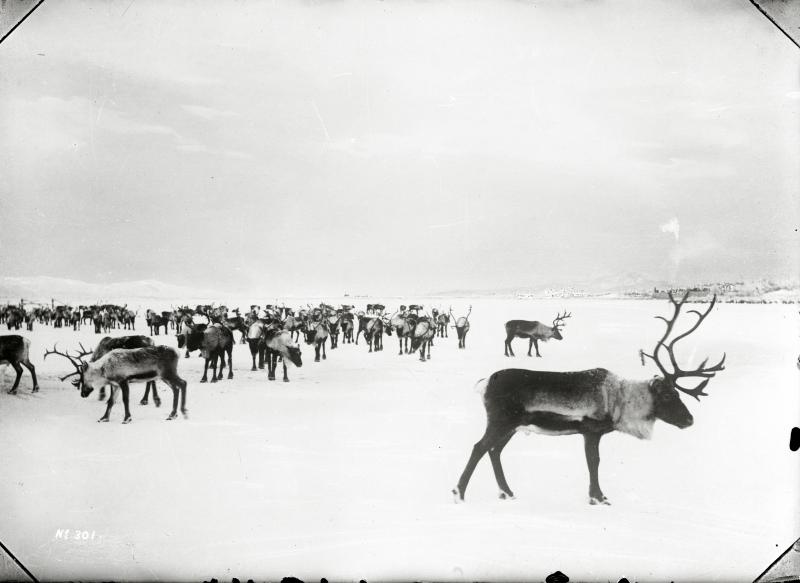 Renhjord på Luossajärvi år 1906.