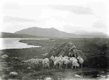 Fåren släpps ut ur fårstalletden 15 juli 1915.