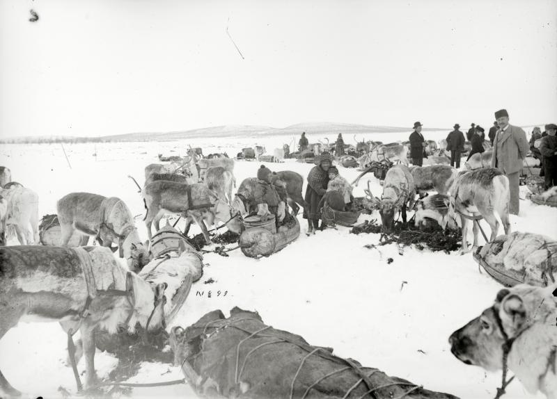 Renrajden rastar på Luossajärvi år 1901.